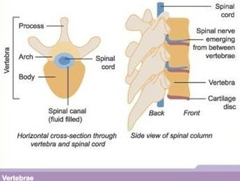 Vertebrae and spinal cord